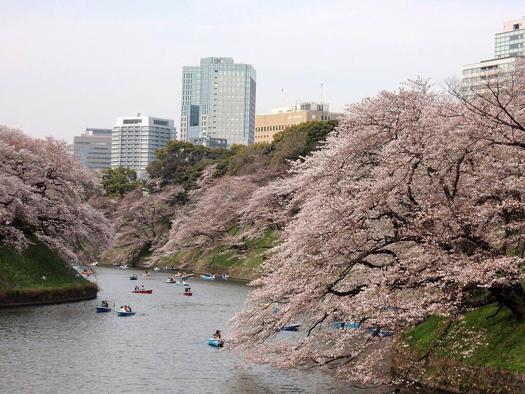 Berburu Sakura diTokyo